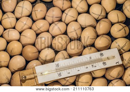 Labeled chicken eggs lying in a home incubator with a temperature control thermometer