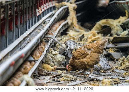 Lonely wandering chicken at the damaged and stopped line for the production of chicken eggs at a poultry farm. Collapsed structures of an agricultural building. Accident in production.