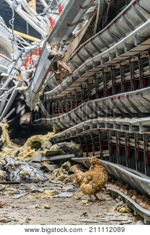 Collapsed structures of an agricultural building with damaged and stopped production line of chicken eggs of a poultry farm. Lonely wandering chicken.