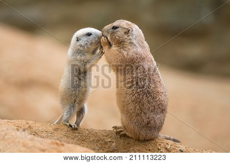 Adult prairie dog also known as genus cynomys and a baby sharing their food.