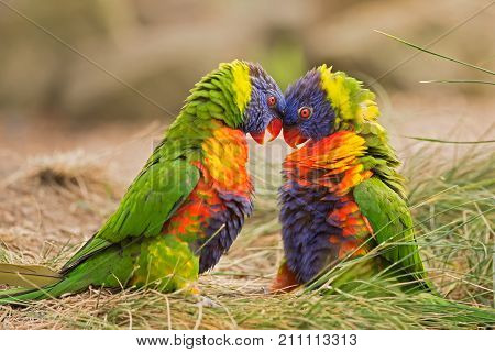 Two rainbow lorikeets also known as Trichoglossus haematodus Moluccanus fighting.