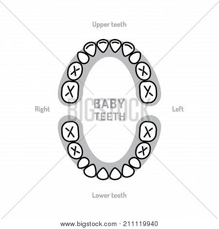 Baby Tooth Chart Baby mouth. Primary teeth, deciduous teeth, or milk teeth. Children's dentistry thin line art icons. Vector flat illustration