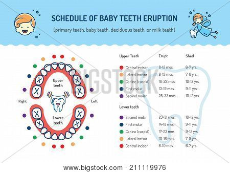 Schedule of Baby Teeth Eruption. Baby mouth, Primary teeth, deciduous teeth. Children's dentistry infographics Dental care thin line art icons. Vector outline elements