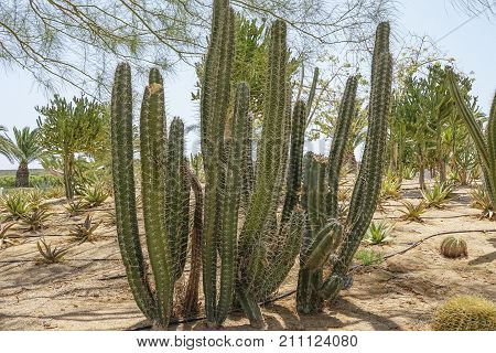 Cultivation Of Cacti In The Home And Drip Irrigation. Landscape Of Cacti. Cactus Field