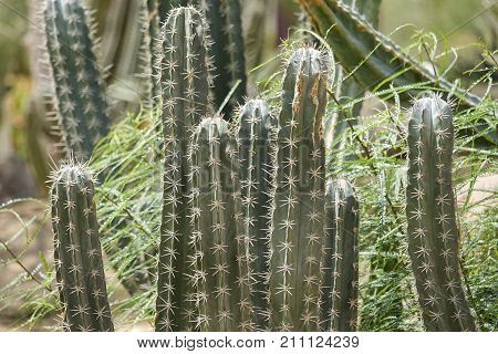 Cultivation Of Cacti In The Home. Landscape Of Cacti. Field Of Cacti. Close-up