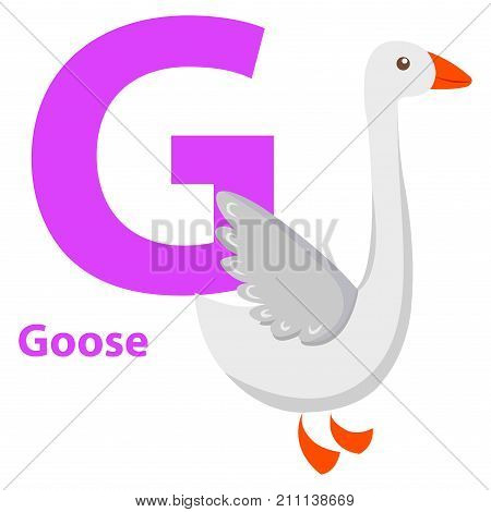 White Goose with purple letter G on ABC poster for children. Domestic bird with red paws and beak isolated on white. Vector illustration of primary education card with cartoon animals graphic design.