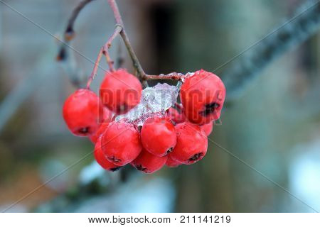 Rowan berries on a branch. Rowan in the cold. Frosty berries. Red berries in the snow. The snow on the berries. Berries in winter