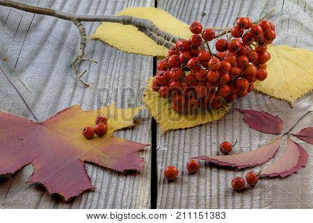 Autumn leaves and rowan berries lying on an old wooden table. Still life.