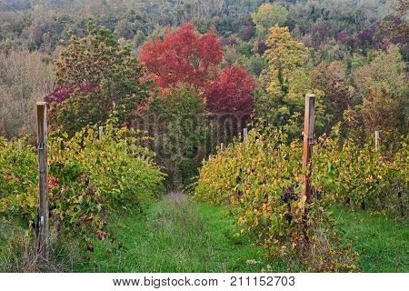 Emilia-Romagna, Italy: picturesque autumn landscape of the countryside with vineyards for wine production