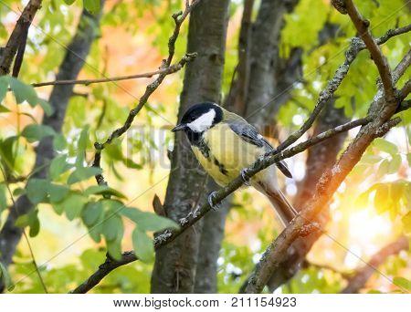titmouse ( Parus major) on a branch