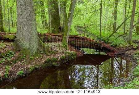 Two large tree by slow flowing river and broken partly declined tree lying among them in springtime, Bialowieza Forest, Poland Europe