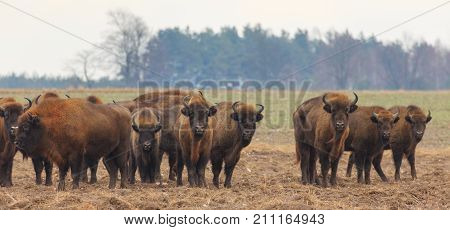 European Bison herd in snowless winter time against pine trees in morning, Podlasie Region, Poland, Europe