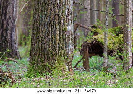 Huge oak tree moss wrapped in spring, Bialowieza Forest, Poland, Europe