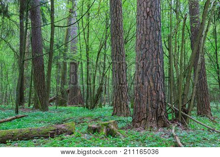 Huge old pine trees in spring among juvenile hornbeam, Bialowieza Forest, Poland, Europe
