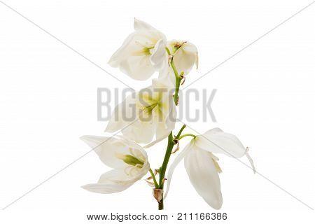 yucca blossom white flower on white background