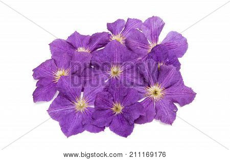 lavendar clematis spring flower on white background