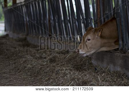 young Ayrshire cattle eating hay in a shed