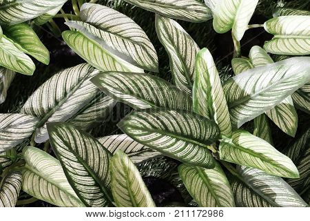 Background Pattern Beautiful Artificial Green and White Dieffenbachia or Dumb Cane Plants for Home and Office Decoration without The Care.