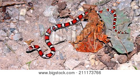 Red Milk Snake (Lampropeltis triangulum syspila) inhabiting the forests of southern Illinois.