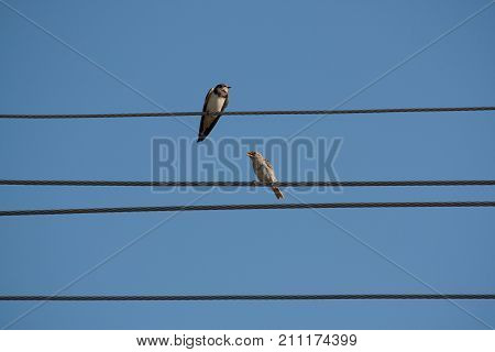 Swallow and sparrow on the wire in serbia