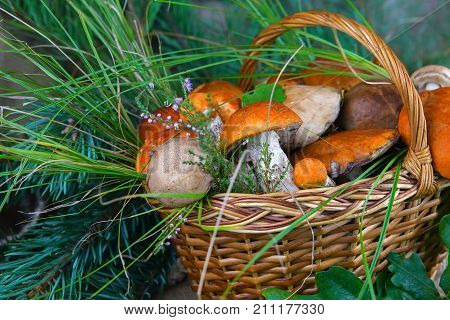 forest mushrooms in a basket with a branch of squeals on a background of oak leaves and pine, podberezoviki,