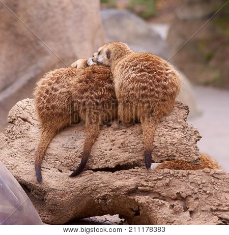 Amazing Meerkats in a group of Three