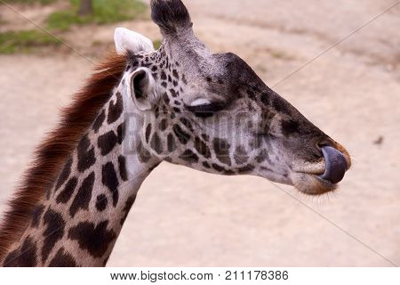 Giraffe with tongue sticking out of mouth
