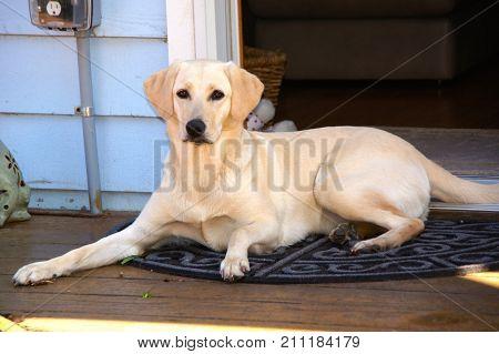Beautiful Yellow Labrador Retrievers, Annie, lying on deck