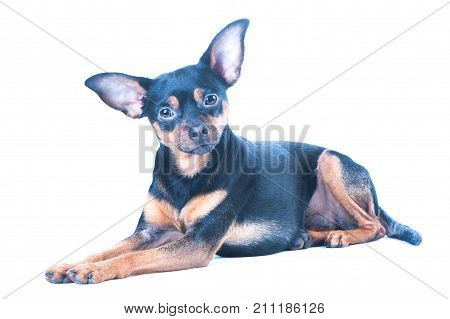 Dog, toy terrier isolated on white. Lies in a beautiful pose, looks at the camera