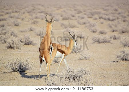 sunny savannah scenery including two copulating springboks in Namibia Africa