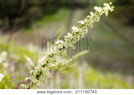 Branch Of Elderberry With Small White Flowers
