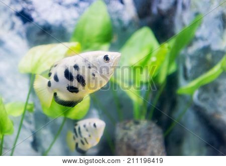 toxotes chatareus archer fish in Thailand,fresh water fish