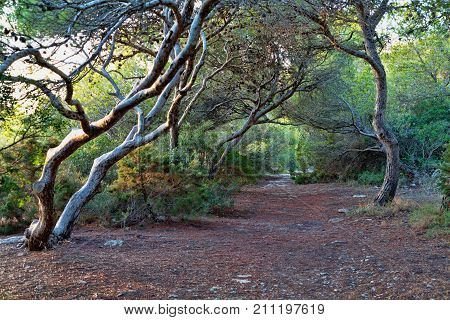 Forest Landscape. Mystical .tree Branches Bending Over Forest Path With Light Shining Through Trees