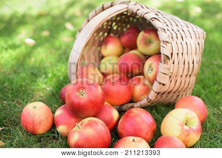 Lot of red juicy appels in a wooden basket