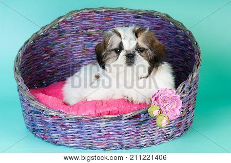 Shih tzu puppy portrait at studio lying in wicker couch basket