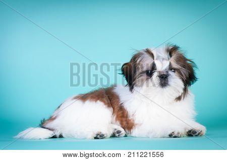 Shih tzu puppy lying portrait at studio