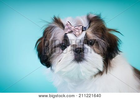 Shih tzu puppy closeup portrait at studio
