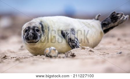 Baby Common Seal On Beach