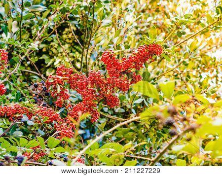 Autumn Red Rowan Berries On Tree.