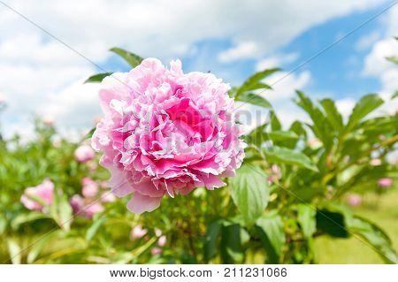Beautiful pink Minuet peony flowers. Horizontal Outdoors summertime vibrant image.