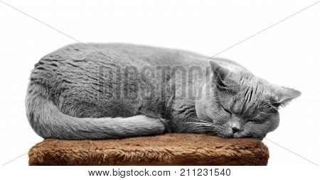 British Shorthair Cat Sleeping On Scratching Post Isolated On White.