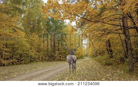 Majestic Powerful Adult Deer In The Autumn Forest