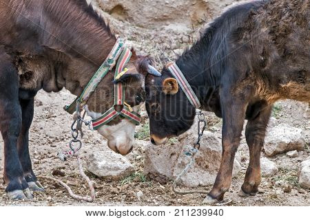 aggressive love Bull fight traditional opposing game