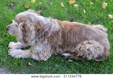 Spaniel dog breed is in the green grass under sunlight