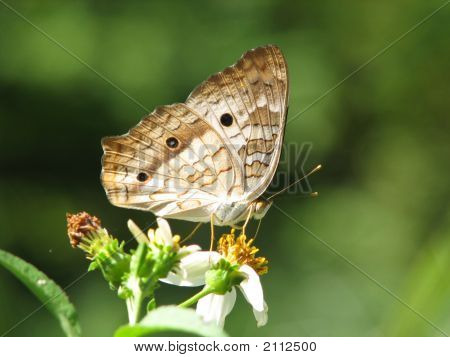 Butterfly At Lunch