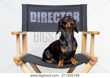 cute dog (puppy) of the dachshund breed black and tan sits on a black director chair on a white background