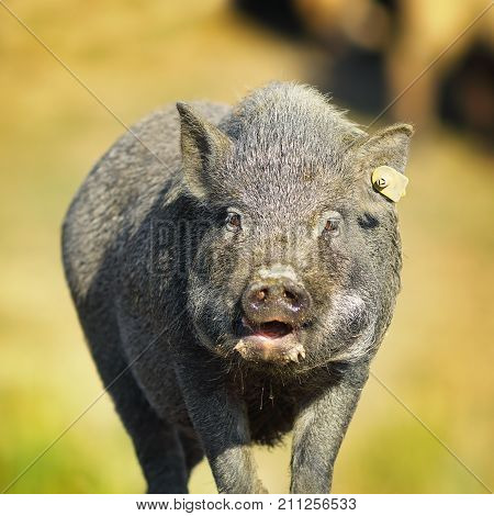 portrait of vietnamese pig near the farm out of focus background ( Sus scrofa )