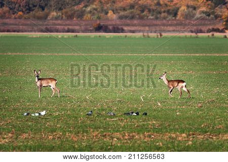 roe deers in the green field ( Capreolus )