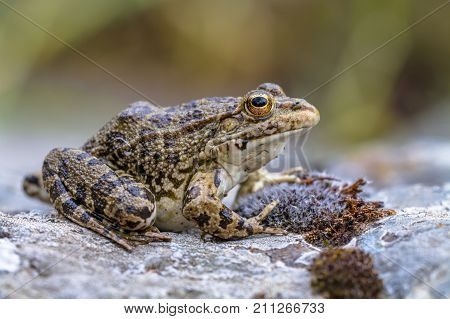 Southern European Levantine Water Frog