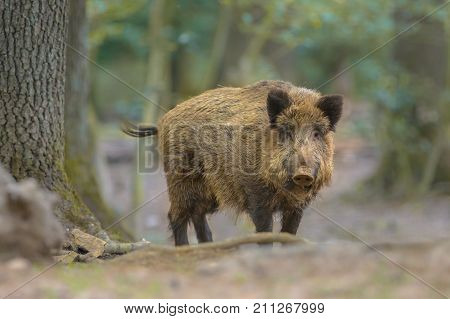 Wild Boar Looking From The Forest